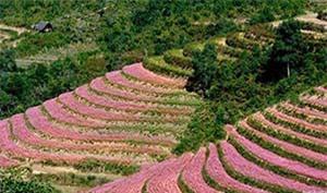 Clip: Các địa điểm lý tưởng nhất ngắm hoa tam giác mạch tại Hà Giang