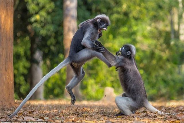 Hai chú khỉ gây chiến (Ảnh: Sergey Savvi)