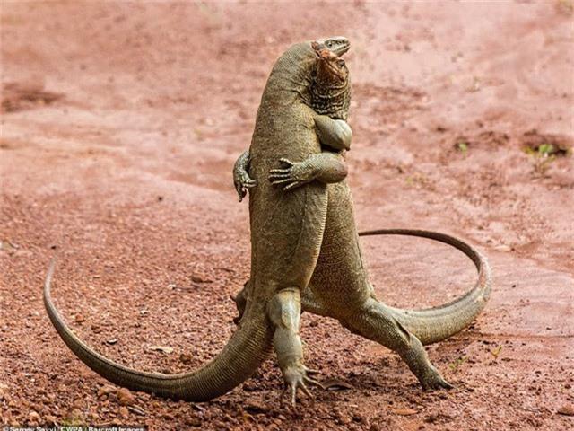 Hai chú rồng komodo... ôm nhau (Ảnh: Sergev Savvi - Sri Lanka)