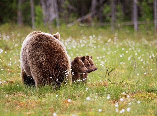 Bức ảnh chụp ba chú gấu con đứng thẳng hàng (Ảnh: Valtteri Mulkahainen)