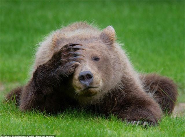 Chú gấu nâu đầy tâm sự (Ảnh: Valterri Mulkahainen - Phần Lan)