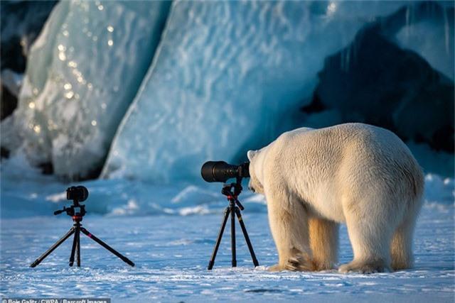 Gấu trắng làm nhiếp ảnh gia (Ảnh: Roie Galitz - Na Uy)