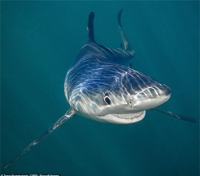 """Bức ảnh đoạt giải """"Sinh vật dưới nước"""" thuộc về tay máy Tanya Houppermans (Mỹ). Tác phẩm chụp một chú cá mập ở cự ly gần, như thể đang… mỉm cười."""