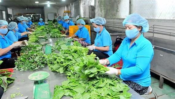 Sản xuất nông nghiệp theo mô hình liên kết sản xuất HTX tại huyện Bình Chánh. (Ảnh: SGGP)