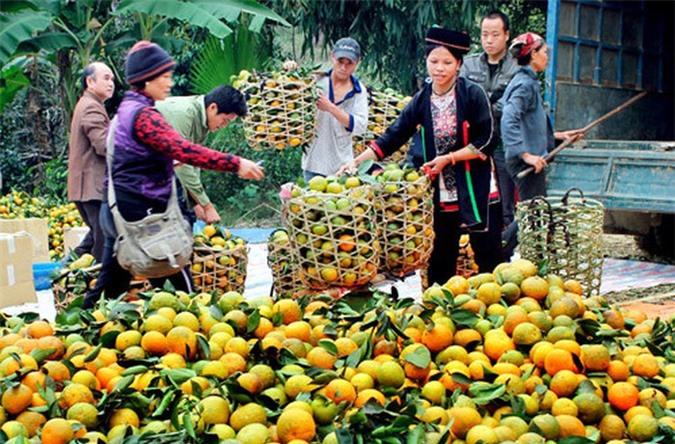 Huyện Hàm Yên (Tuyên Quang) cũng nổi tiếng cả nước bởi trái cam thơm ngon nức tiếng. Ảnh: Dangcongsan.