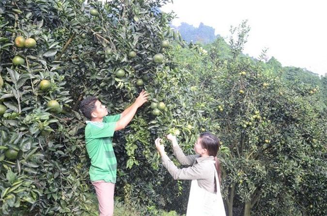 Theo nguồn tin trên báo Nông nghiệp, trong số hơn 1.500 hộ trồng cam ở Phù Lưu, có hơn 200 hộ thu lãi vài trăm đến hàng tỷ đồng/năm. Toàn xã có 40 chiếc xe ô tô con, 20 chiếc xe tải. Ảnh: Nongnghiep.