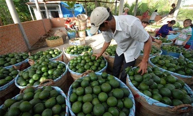 Vài năm gần đây, nhờ trồng cam sành mà nhiều ngôi làng ở Hậu Giang đã trở nên giàu có. Đặc biệt, ở xã Đông Phước (huyện Châu Thành) có nhiều hộ dân trồng cam sành đều trở thành tỷ phú. Ảnh: Zing.