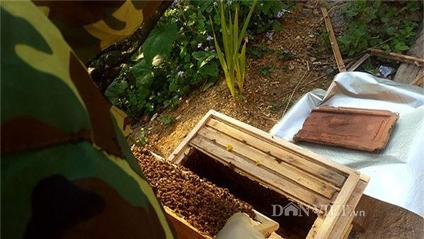 Đàn càng khỏe và đông thì càng nhiều cầu ong trong 1 thùng. Trung bình 1 cầu ong anh Cương bán giống với giá 200.000 đồng/cầu.