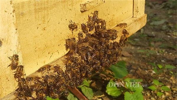 Theo anh Cương thì đây là những con ong có nhiệm vụ bảo vệ tổ.
