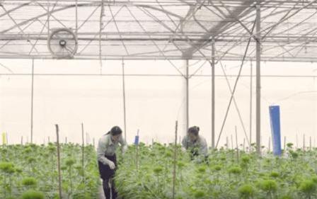 Lâm Đồng: Nhập nhiều giống hoa cao cấp phục vụ Tết