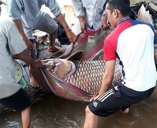 Bắt được cá hô vàng nặng 125 kg, ngư dân Vĩnh Long bỏ túi hơn 300 triệu