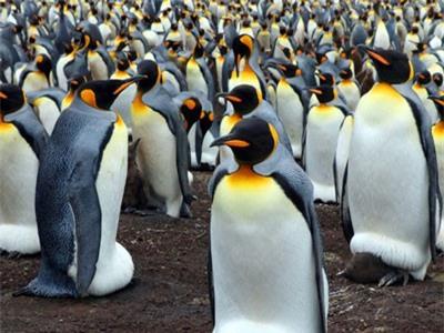 'Tổ bí ẩn' của 1,5 triệu con chim cánh cụt con người chưa từng biết đến