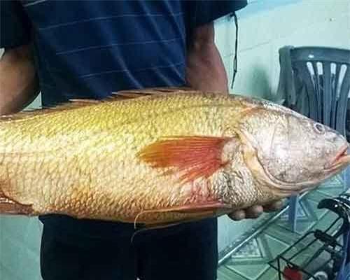 Vì sao cá sủ vàng có giá 'khủng' hàng trăm triệu đồng?