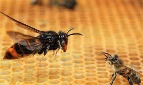 """Xem """"Chim ưng của thế giới côn trùng"""" bổ nhào chớp nhoáng tóm gọn con mồi"""