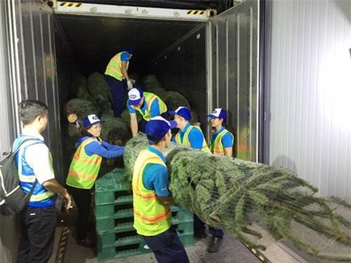 Thông nhập khẩu từ Đức cho mùa Giáng sinh hơn 1.000 USD/cây
