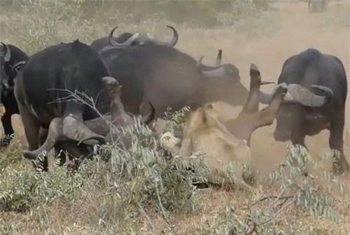 CLIP HOT (16/12): Trâu rừng hợp sức cứu nghé con khỏi miệng sư tử, thiết bị di chuyển trên không như 'siêu anh hùng'