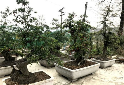 Cây hồng đá bonsai: Hàng lạ Tết này, giá tiền tỷ đại gia ôm liền