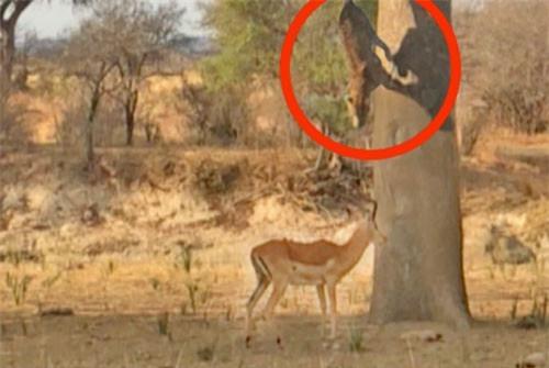 Clip: Báo hoa mai mục kích trên cây, đoạt mạng linh dương Impala
