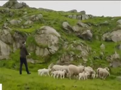 Clip: Thú vị với cách chăn thả cừu thời 4.0