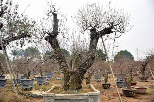 Nắm bắt được xu thế người dân thích chơi cây đào cổ thụ, anh Hải, một chủ vườn ở Nhật Tân, đã không ngại đường xá xa xôi lặn lội khắp các tỉnh phía bắc săn những gốc đào cổ với nhiều thế độc lạ để phục vụ ra thị trường vào dịp Tết Nguyên đán sắp tới.