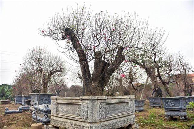 Có một số cây đào đã được anh Hải chăm bẵm, tạo thế qua nhiều năm. Cho tới năm nay cây vừa đủ độ đẹp anh cho lên chậu chuẩn bị bán Tết.