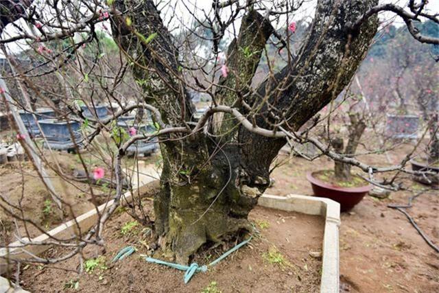 Đây là gốc đào rừng, có độ tuổi khoảng trên 40 năm được ghép với cành đào Nhật Tân. Gốc thân cây to, khỏe, thế đẹp.