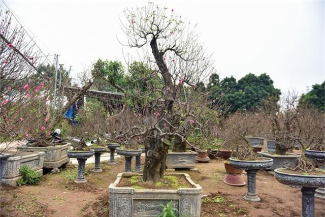 Để đánh giá một cây đào cổ thụ đẹp, phải dựa vào nhiều yếu tố như độ tuổi của cây, cây càng có tuổi thọ cao càng giá trị. Ngoài ra còn phải nói đến thế cây, hoa, nụ nhiều và quan trọng là hoa phải nở đúng dịp Tết âm lịch.