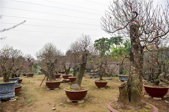 Giá trị của cây ở vườn anh Hải dao động từ 5 triệu tới 120 triệu đồng. Có những cây siêu độc có giá có giá cao hơn so với mặt bằng chung.