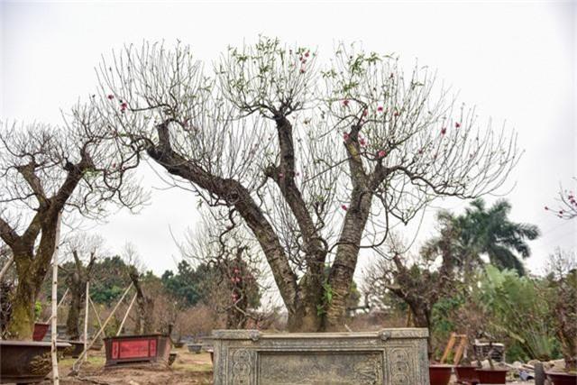 Ngoài ra, những gốc đào này cũng được chủ vườn ra giá cho thuê trên dưới một trăm triệu đồng.
