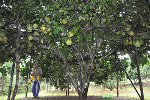"""""""Cụ cây"""" nghìn quả quý như vàng 9999 cho thu về hàng chục cây vàng"""