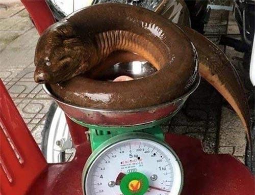 """Tình cờ, đi đánh cá, bắt được con lươn siêu """"khủng"""" nặng 1,6kg"""