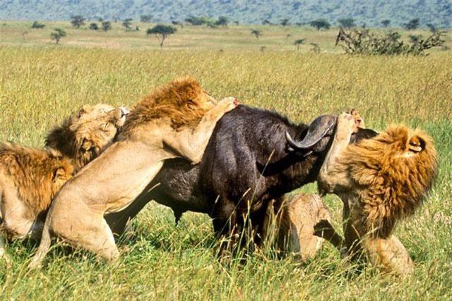 Bầy sư tử săn trâu rừng. Ảnh minh họa.