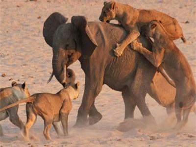 CLIP: Voi lạc đàn rơi vào vòng vây của bầy sư tử cái háu đói