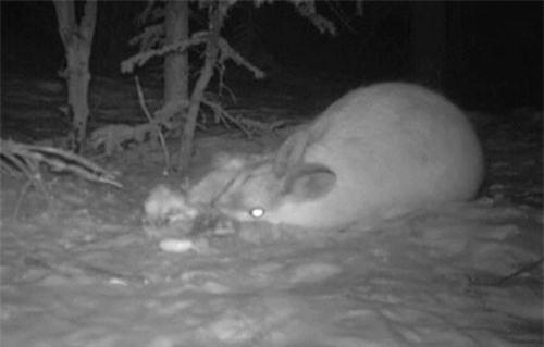 CLIP HOT (15/1): Thỏ rừng Canada ăn thịt đồng loại, cô gái nếm 'trái đắng' vì tạt đầu ôtô