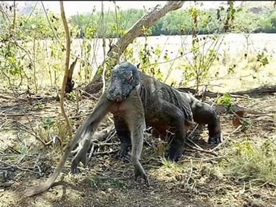 CLIP: Rồng Komodo khổng lồ nuốt sống khỉ gây sửng sốt