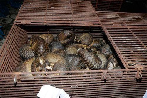 Hà Tĩnh: Bắt nhóm đối tượng buôn bán hơn 200 cá thể tê tê