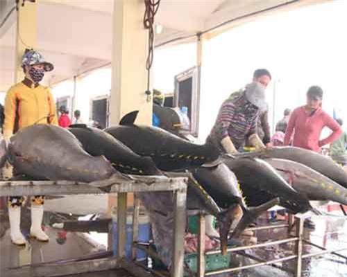 Đầu năm, ngư dân Phú Yên trúng đậm cá ngừ