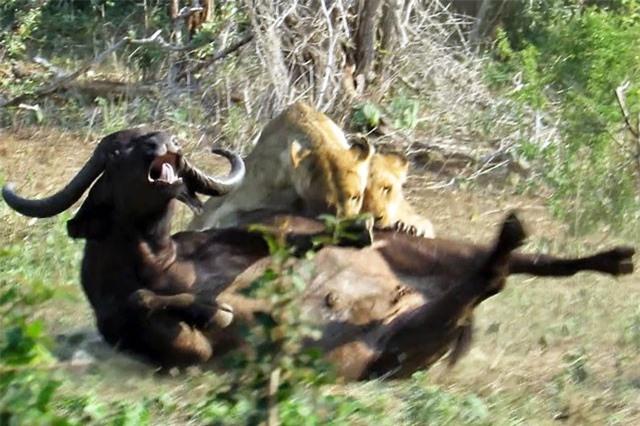 CLIP: Sư tử hợp sức hạ sát trâu rừng trong 'một nốt nhạc'