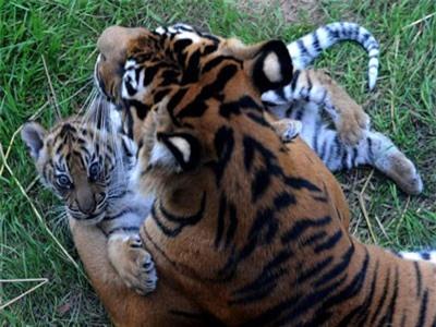 Làm quen không thành, hổ giết luôn bạn tình được sở thú 'sắp đặt'