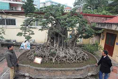 Chiêm ngưỡng hai cây sanh 'khủng' cực đẹp của doanh nhân bí ẩn ở Hà Nội
