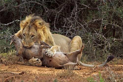 """Kinh hoàng hỗn chiến """"sặc"""" bụi của lợn nanh sừng và sư tử"""