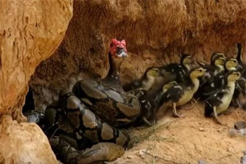 CLIP HOT (16/2): Cận cảnh màn giải cứu ngan bị trăn tấn công, dùng rắn ép cung nghi phạm