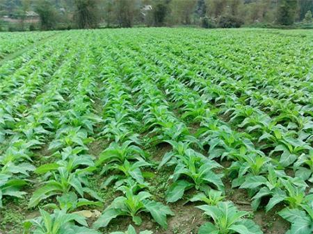Bổ sung gần 70 giống cây trồng được phép sản xuất, kinh doanh ở Việt Nam