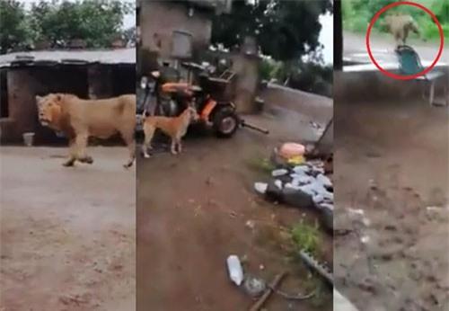 CLIP HOT (16/2): Voi đột nhập nhà bếp quân sự, sư tử đi lạc khiến dân làng hoảng loạn