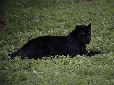 Cá thể báo đen gần nhất được chụp ở Kenya sinh ra ở New York