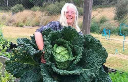 Sửng sốt trước cây bắp cải to bằng người, đủ ăn trong 2 tuần