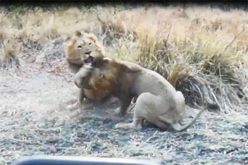 CLIP: Sư tử đực hỗn chiến giành quyền giao phối