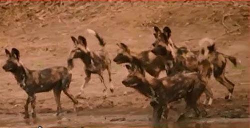 CLIP: Bầy chó hoang bất lực nhìn đồng loại bị cá sấu ăn thịt