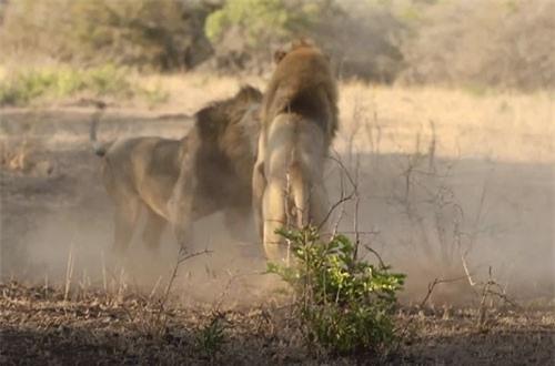 CLIP: Cận cảnh màn giao đấu ác liệt của hai con sư tử đực