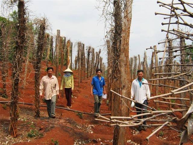 Lâm Đồng: Nông dân thất thu vì giá hồ tiêu giảm mạnh